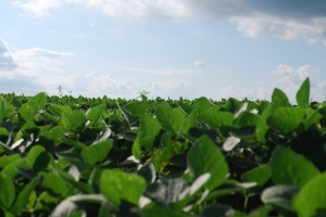 How Labeling GMOs could help Monsanto