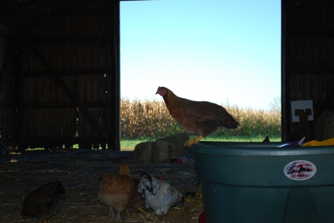 Pictures of chickens growing up on the farm