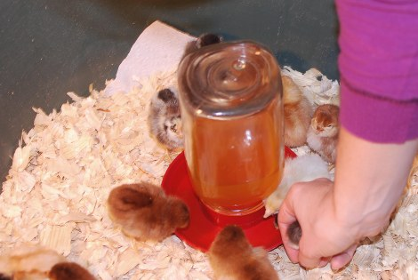 Caring for baby chicks, day 1