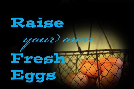 What you need to know if you are thinking about raising your own fresh eggs
