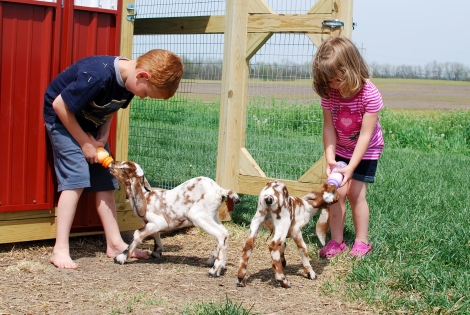 Bottle-fed baby goats join us on the farm!  {DaddysTractor.com}