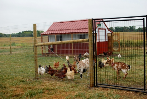Chicken fence {DaddysTractor.com}