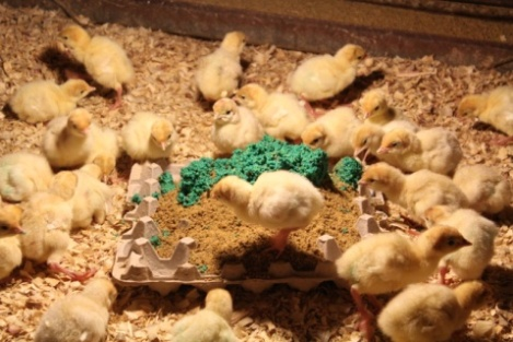 This family shares how they raise Thanksgiving turkeys on their family farm!