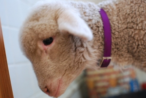 sick little lamb