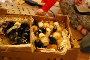 How I got my broody hens to accept mail-order chicks.