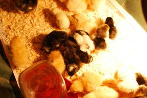 How I got my broody hen to accept mail-order chicks