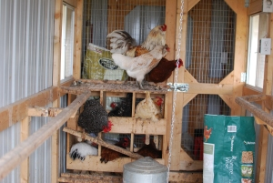 How I got my broody hen to accept mail-order chicks!