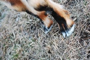 Why I gave my goat a pedicure.
