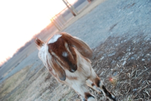 Why I gave my goat a pedicure
