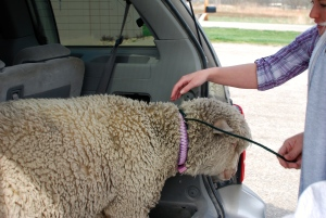 That's a sheep in the back of a mini van