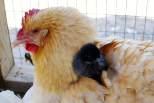 Baby chick with Mama hen