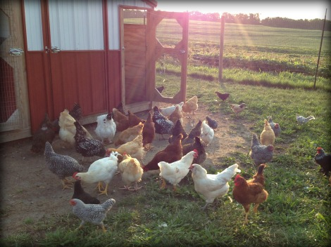 Happy, healthy chickens eating GMO feed {DaddysTractor.com}