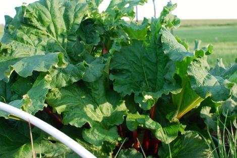 Growing crazy-big rhubarb!