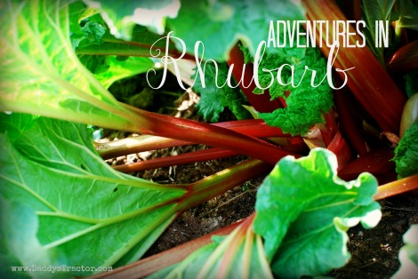 Adventures in growing rhubarb.  {DaddysTractor.com}