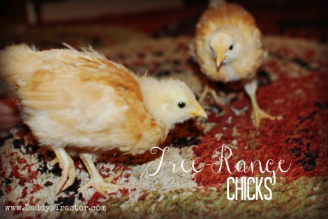 The story of our free-range baby chick project.