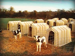 calf hutches 2